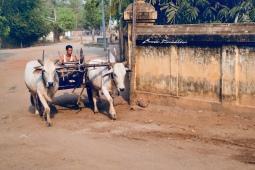 Burmese Cow Carriage Bagan Myanmar