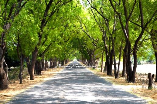 Tree Tunnel Bagan Myanmar