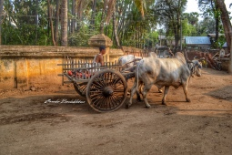 Burmese Cow Carriage Bagan Myanmar